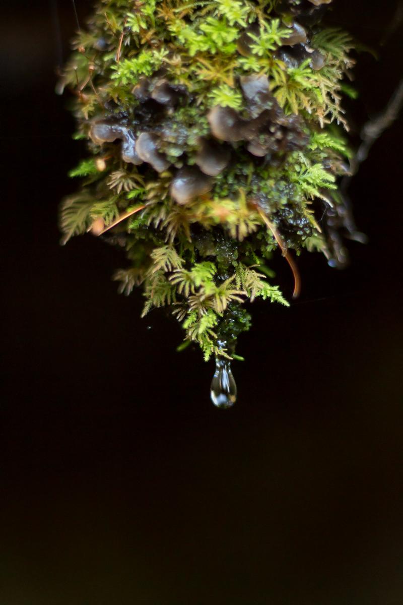 Formación de musgo colgando que libera gotas de agua pura en un bosque de montaña de la región de araucanía en el sur de Chile.
