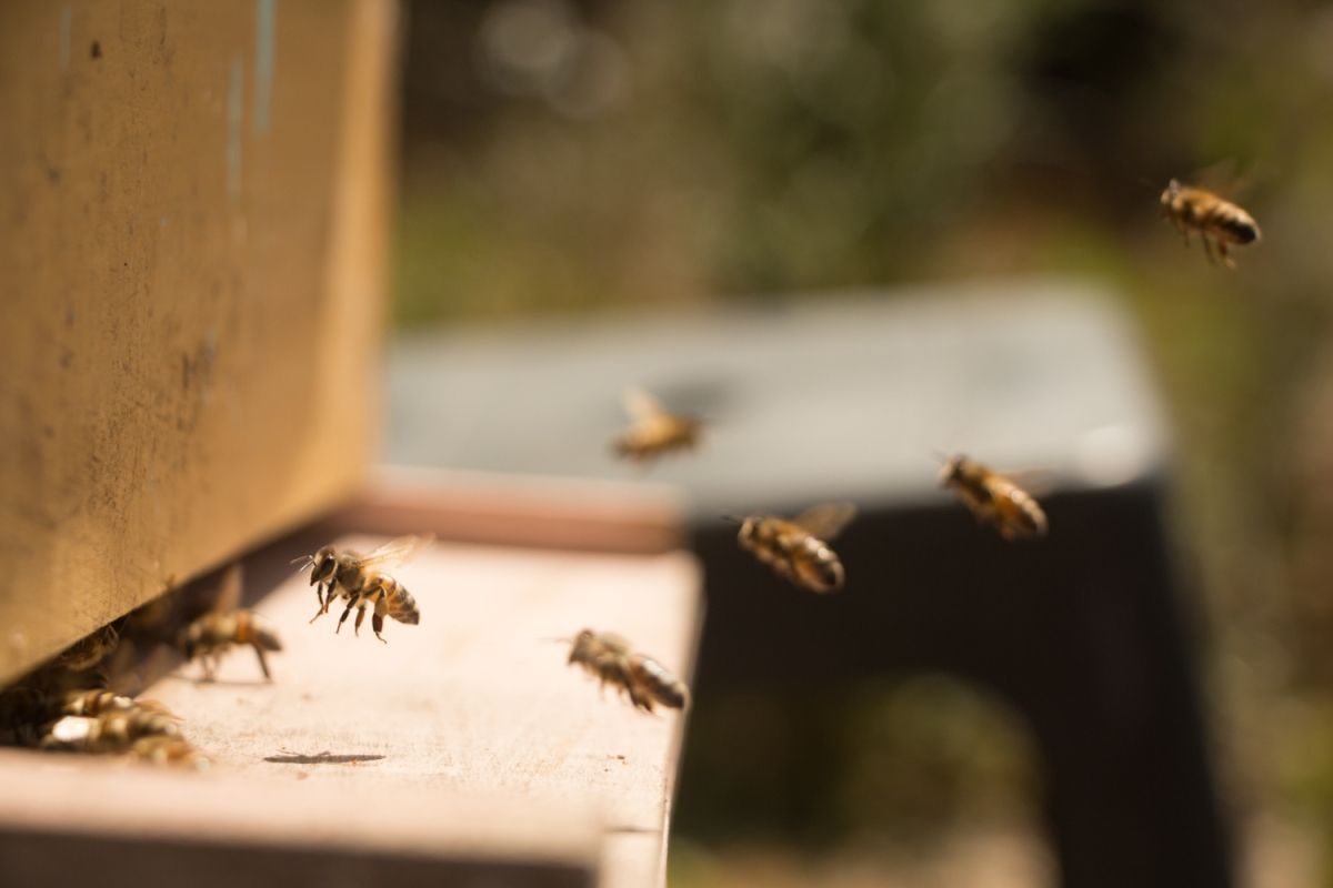 abejas, panal de abejas, apicultura, miel, permapicultura, enjambre, enjambración.