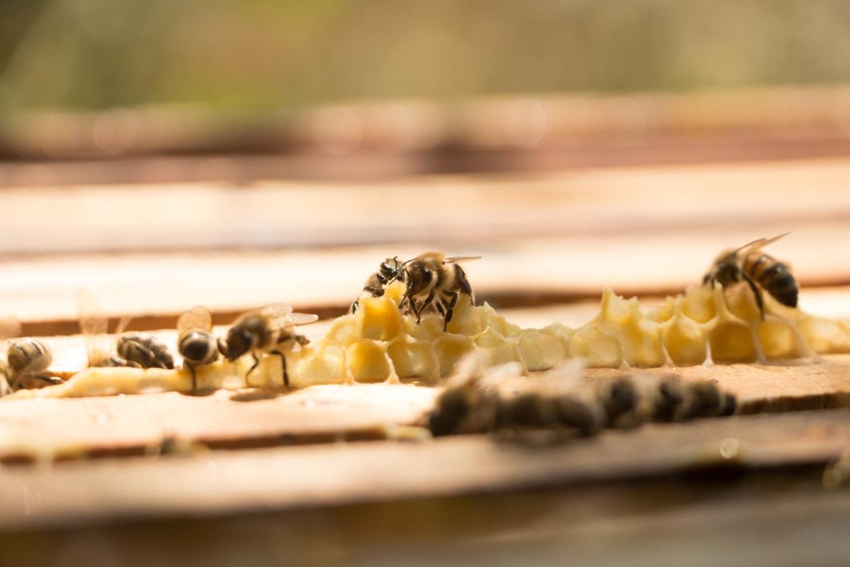 apicultura, abejas, cera de abejas, panal de abejas, permapicultura,
